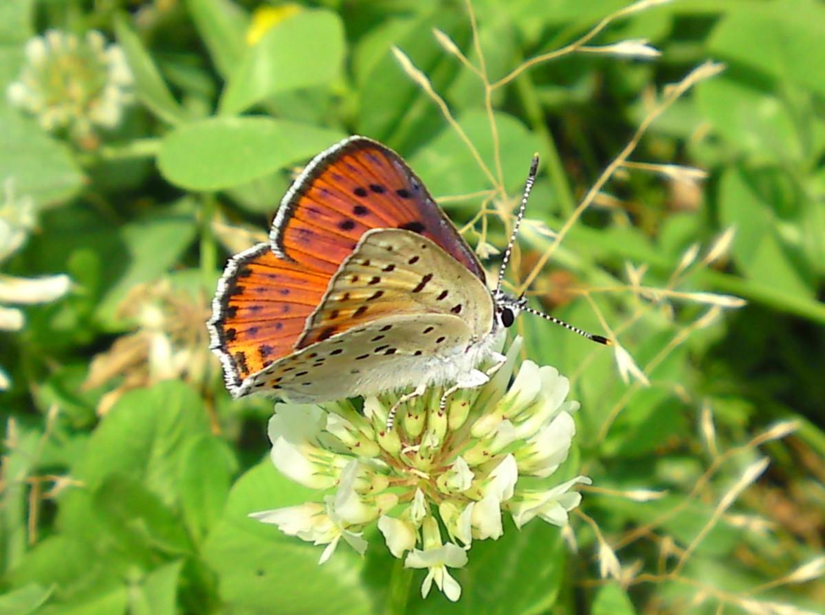 Violette Vuurvlinder