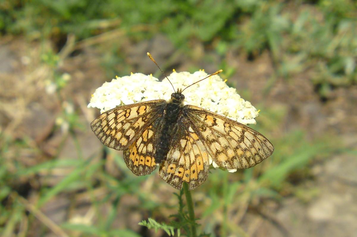 Moerasparelmoervlinder
