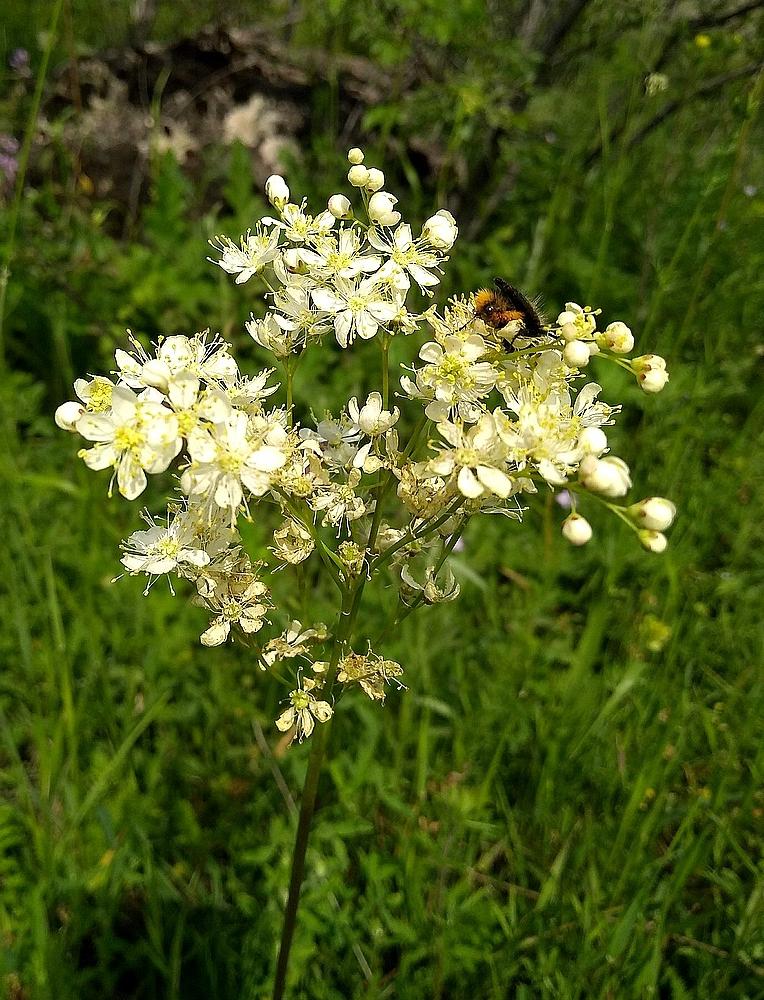 Filipendula vulgaris - Knolspirea