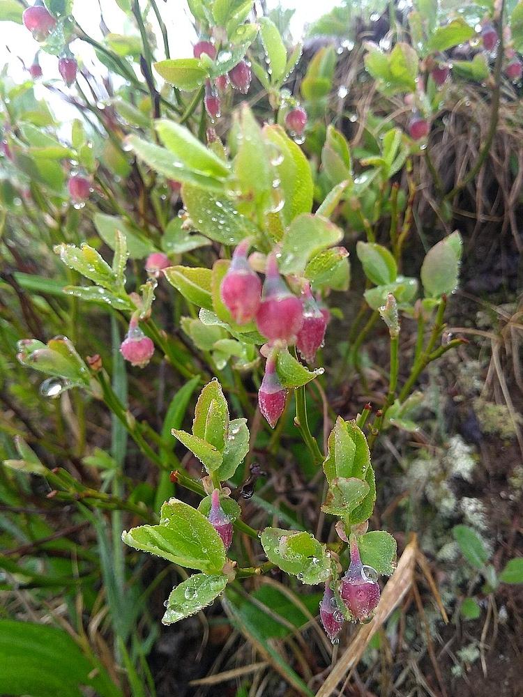 Blauwe bosbes Vaccinium myrtillus