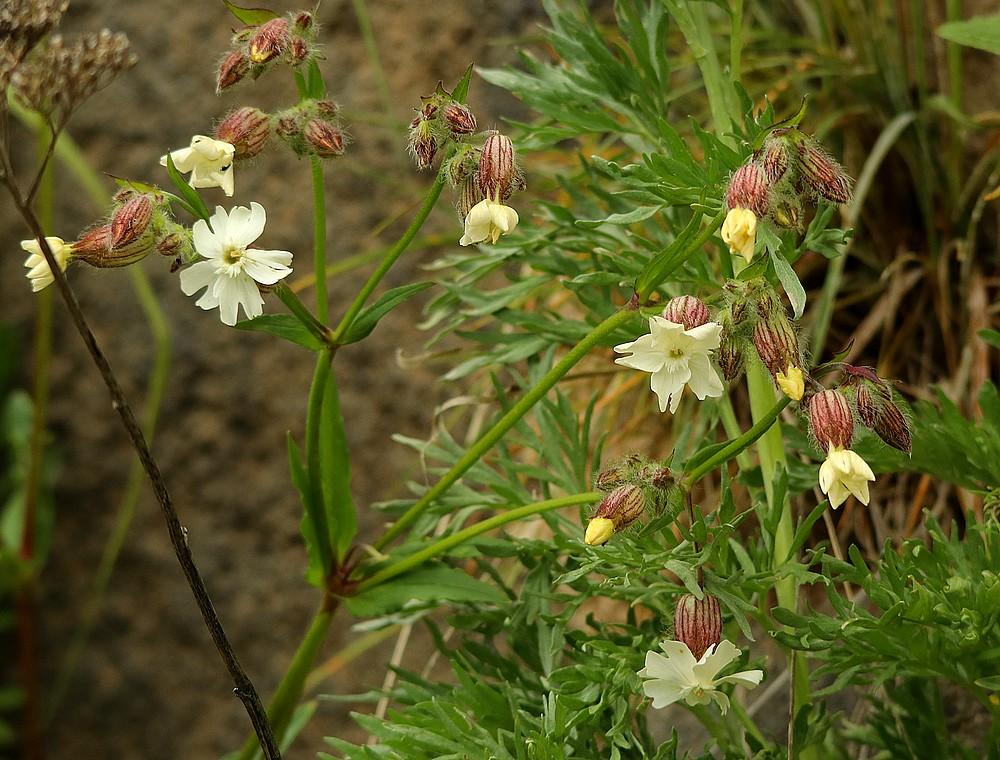 Melandrium latifolium