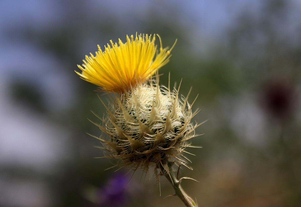 Centaurea sp