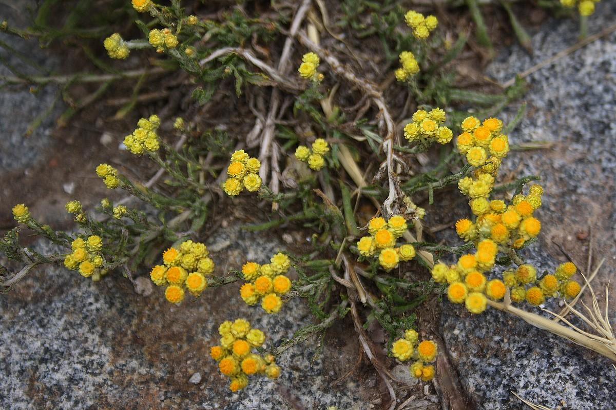 Helichrysum plicatum