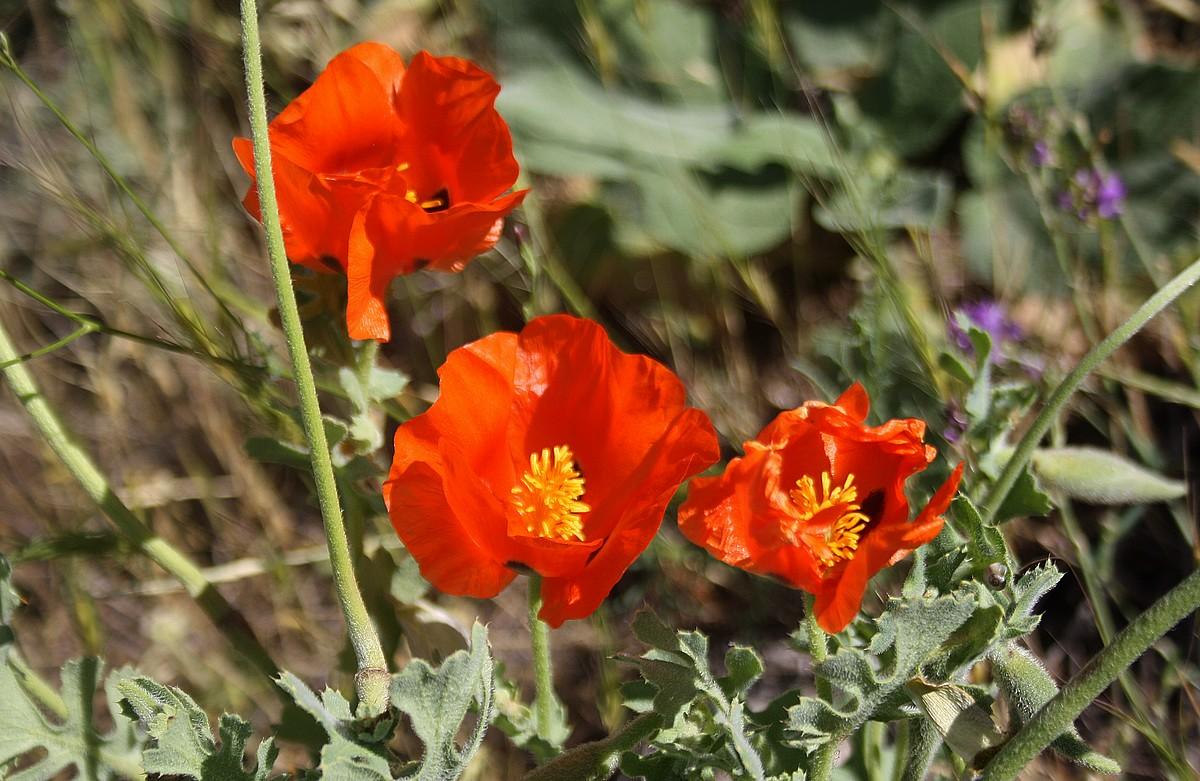 Glaucium corniculatum - Rode hoornpapaver