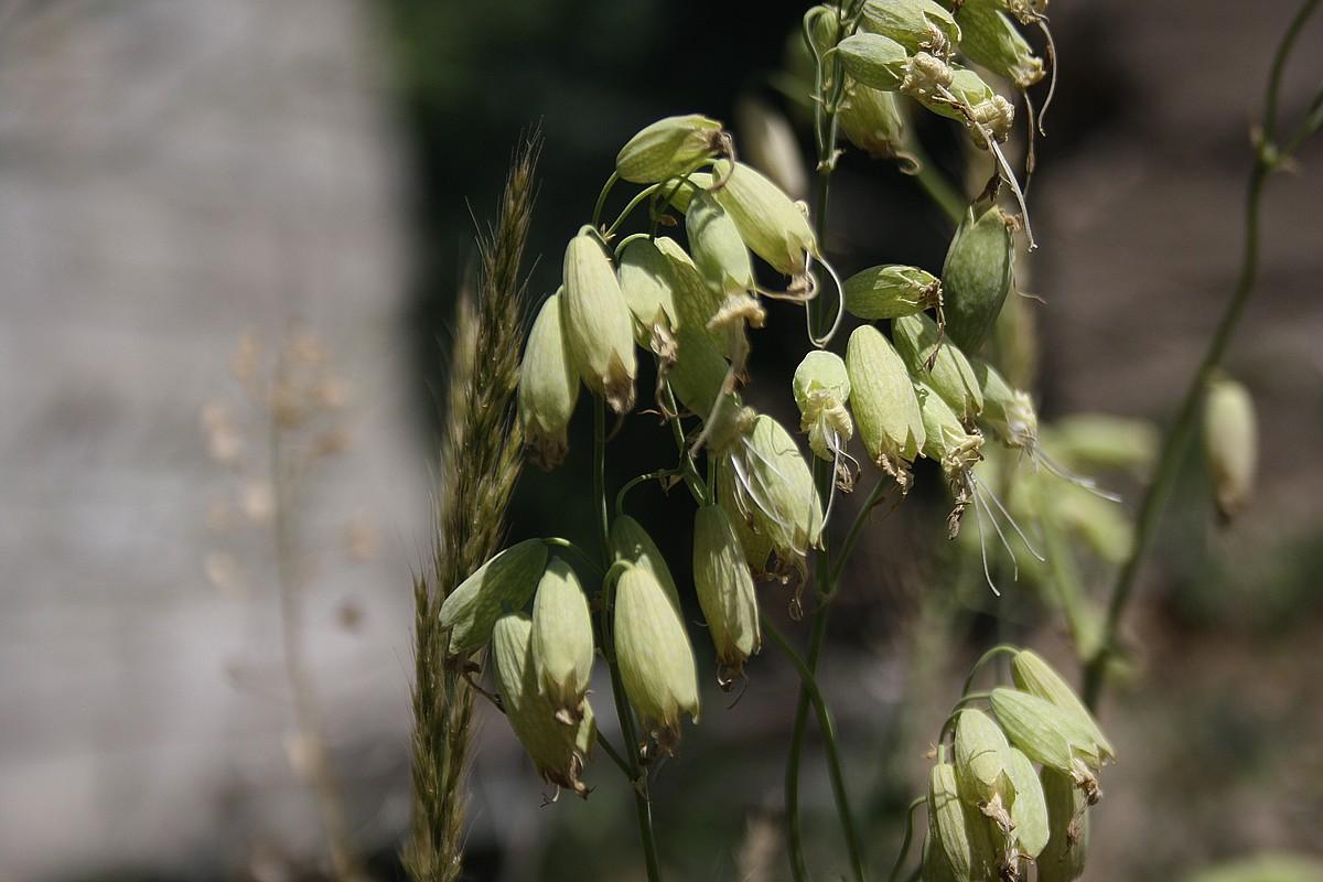Silene vulgaris - Blaassilene sp