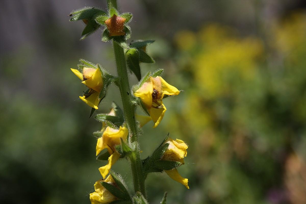Verbascum varians