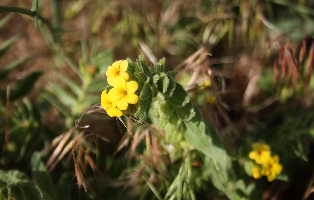 Alkanna orientalis - Gele borage