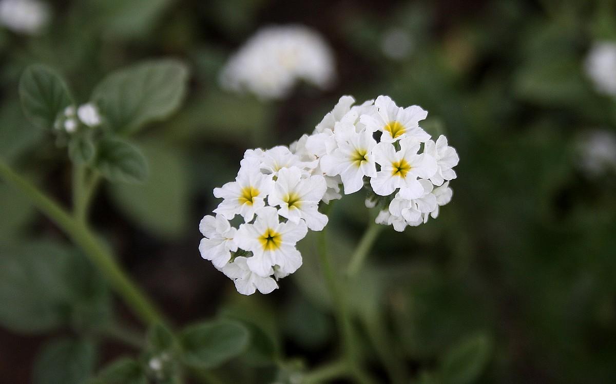 Heliotropium ellipticum