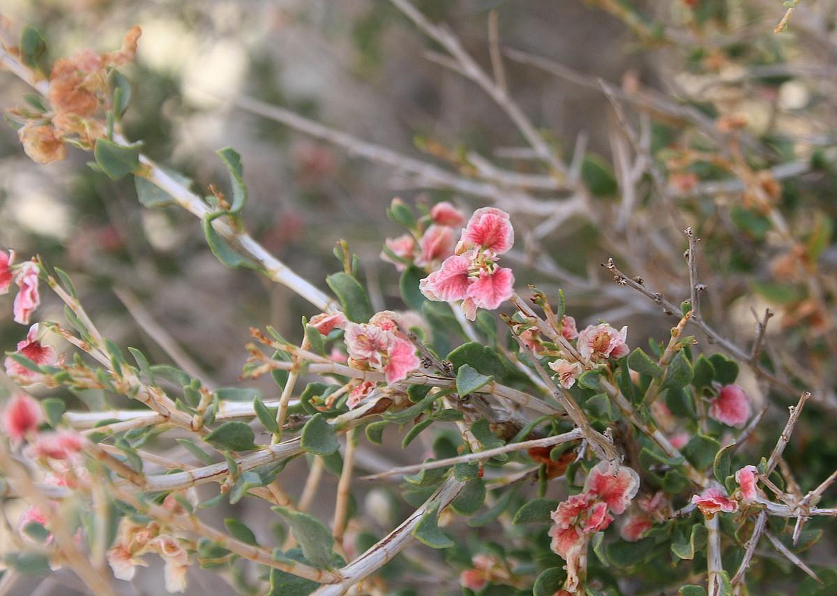 Salsola sp