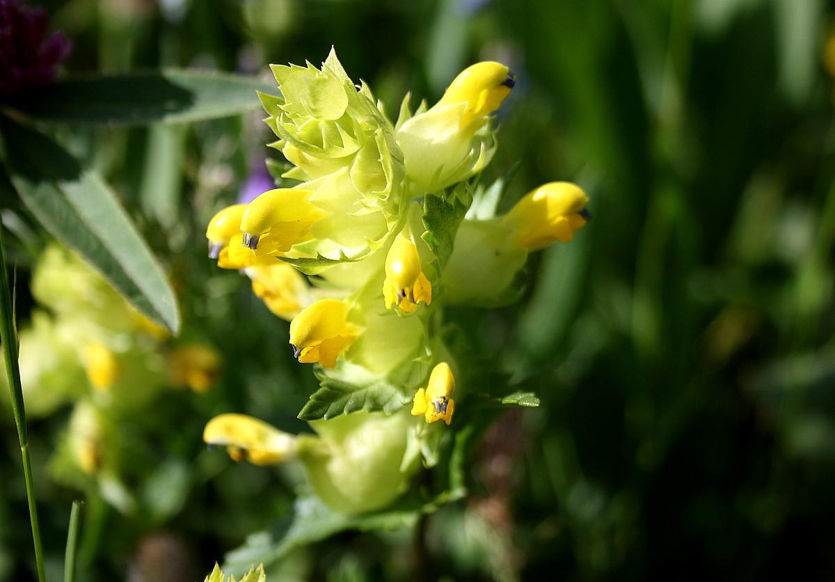 Rhinanthus mediterraneus - Ratelaar sp.