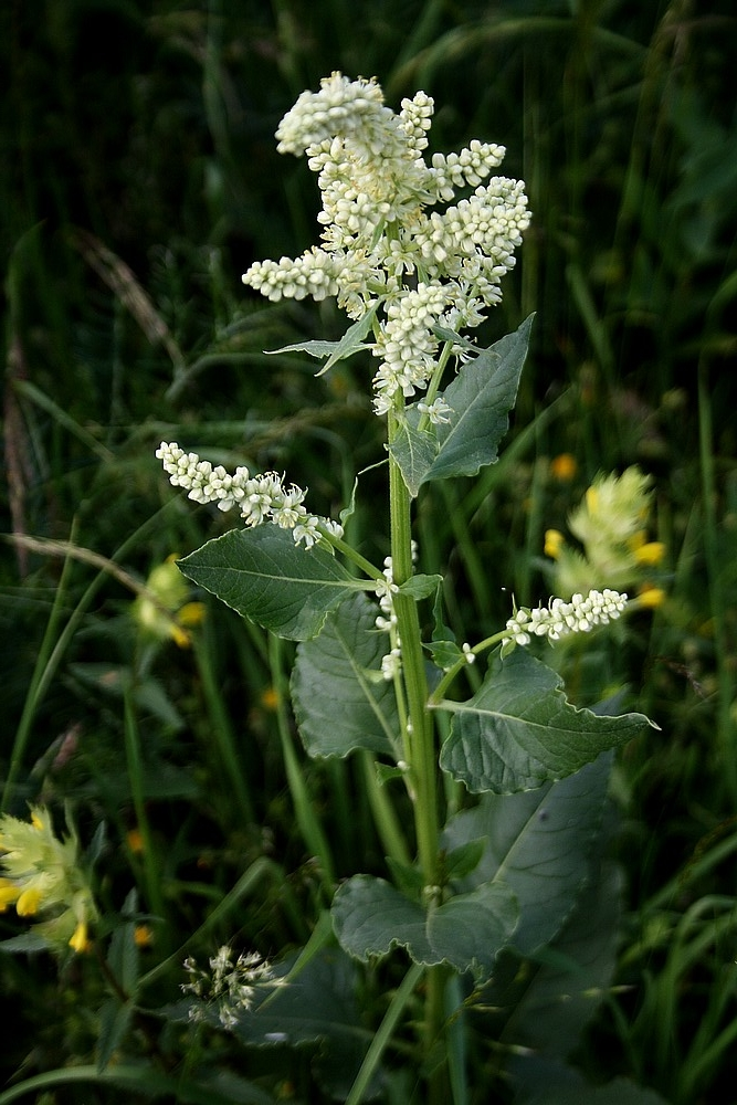 Beta vulgaris - Wilde Biet