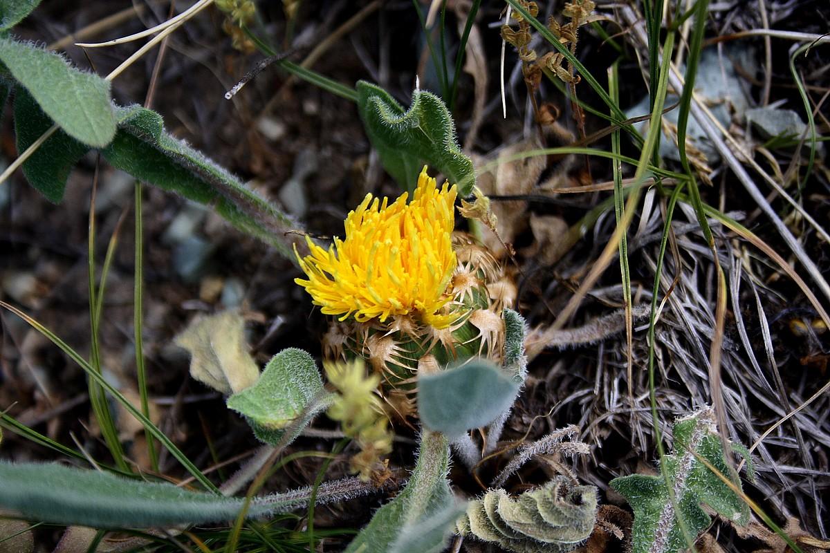 Centaurea rhizantha