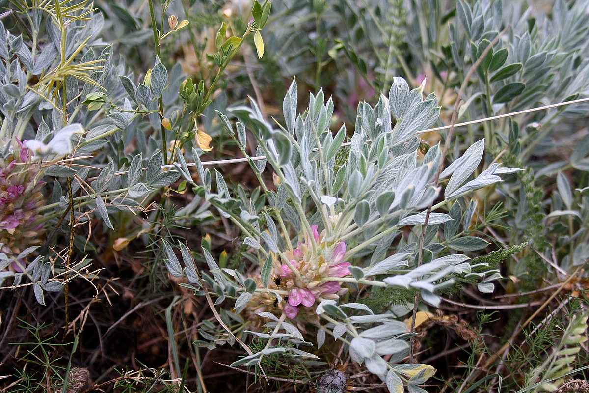 Astragalus strictifolius - Pseud. Astracantha stenonychioides