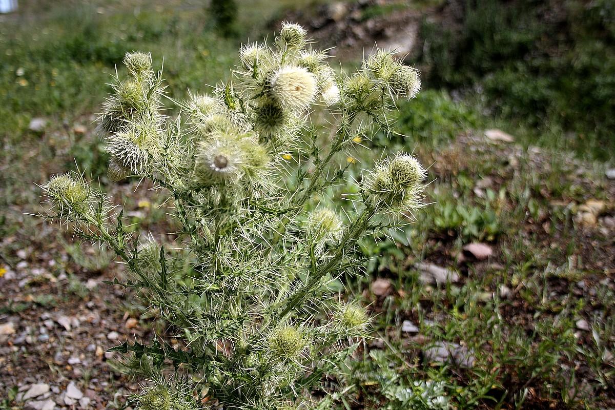 Cirsium echinus