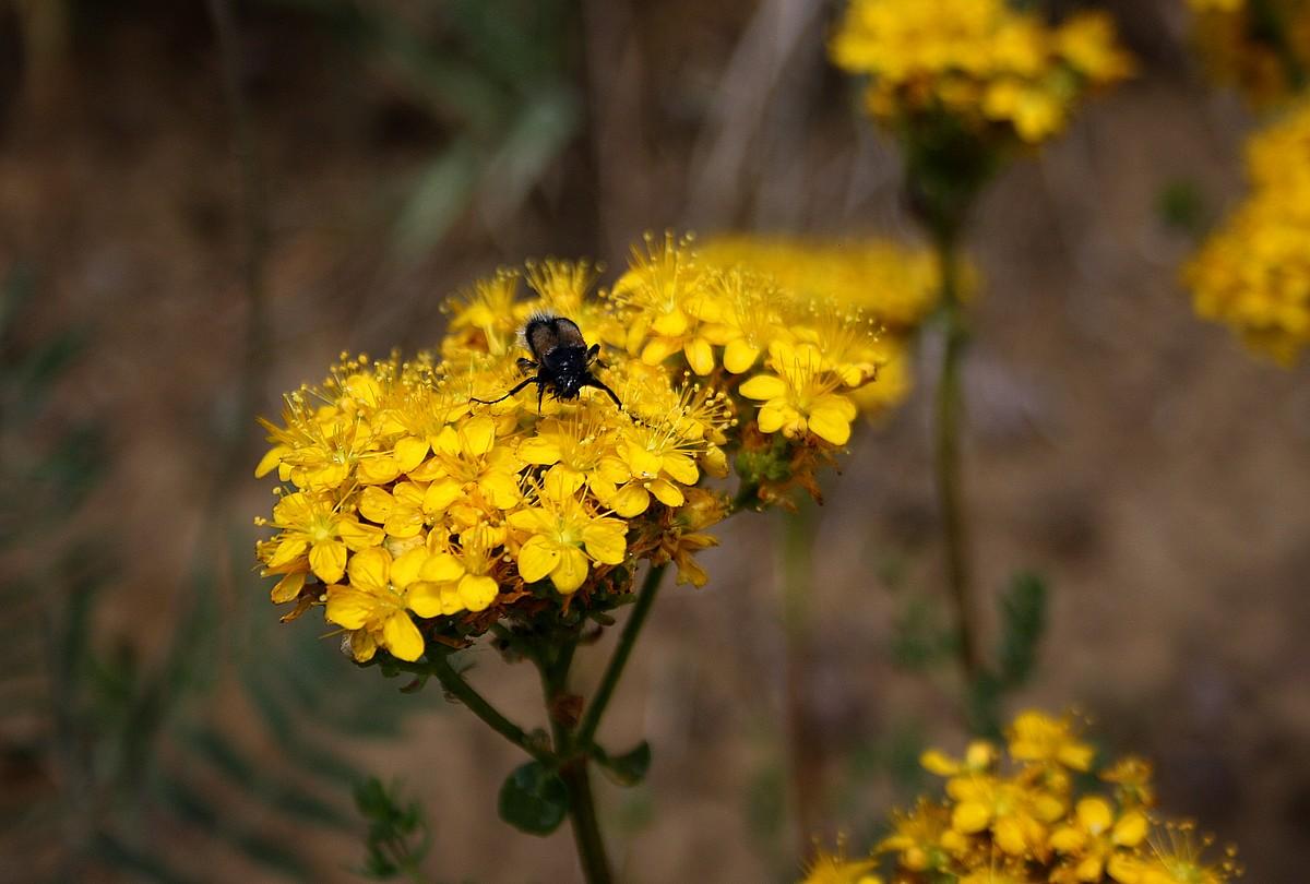Hypericum sp. - Hertshooi sp.