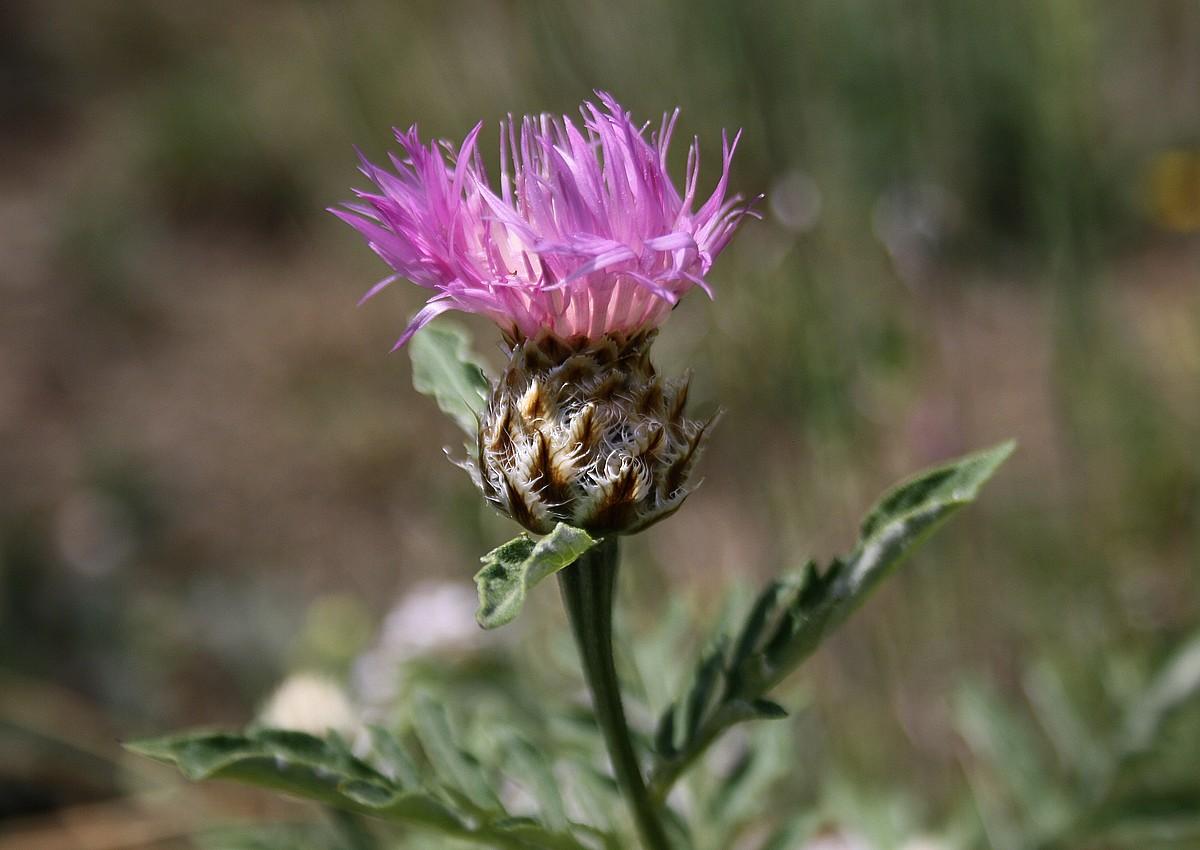 Psephellus dealbatus - Perzische korenbloem