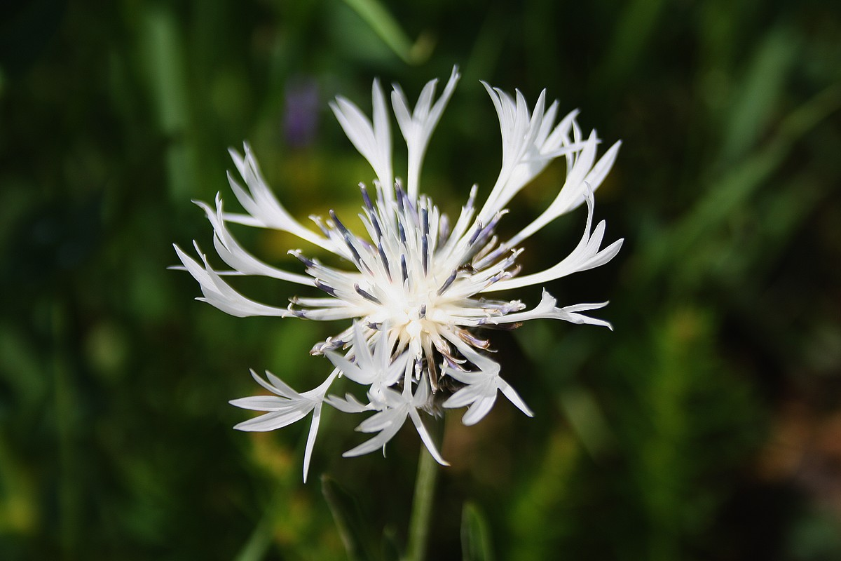 Centaurea cheiranthifolia