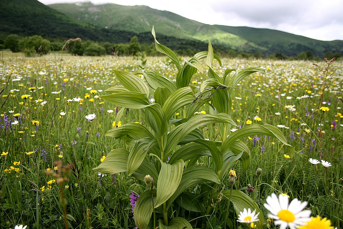 Veratrum lobelianum giftig, bloeit na 15 jaar