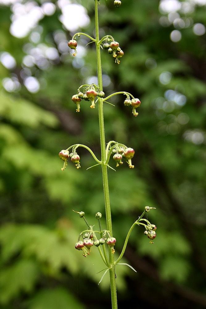 Scrophularia orientalis