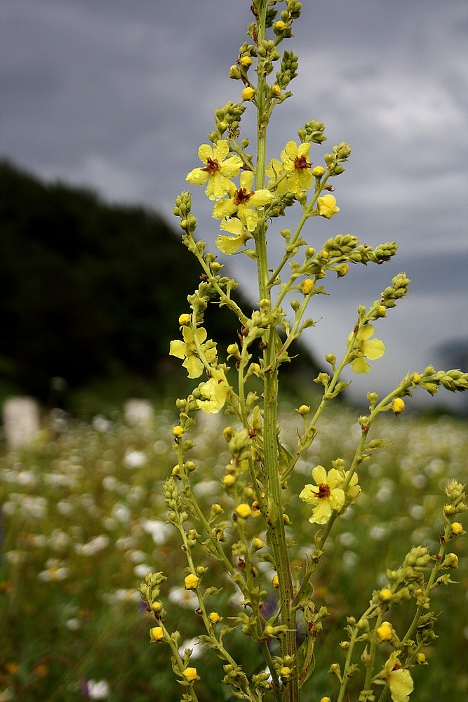 Verbascum saccatum