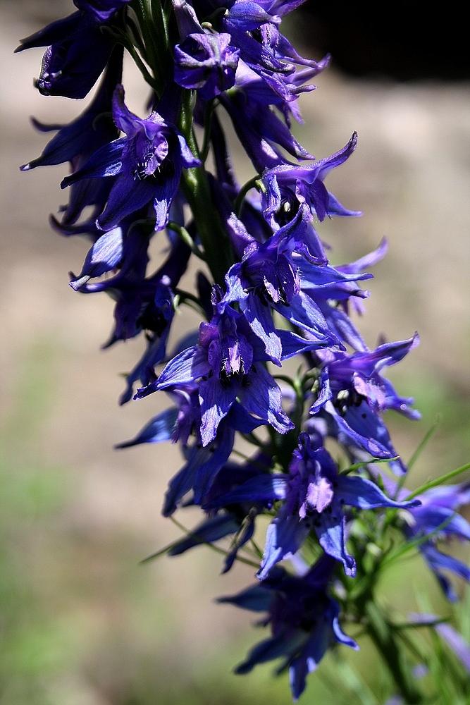 Delphinium freynii - Ridderspoor sp.