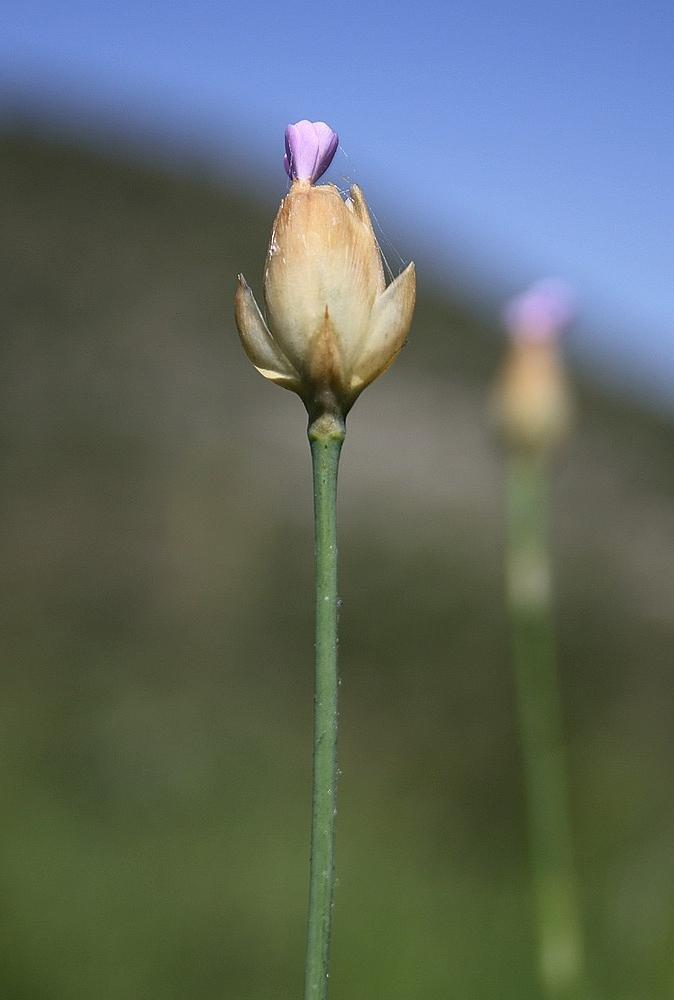 Dianthus prolifer pseud. Petrorhagia prolifera - Slanke mantelanjer