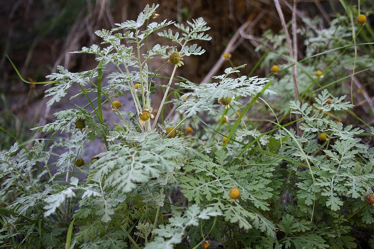 Pyrethrum parthenium, Tanacetum parthenium - Moederkruid