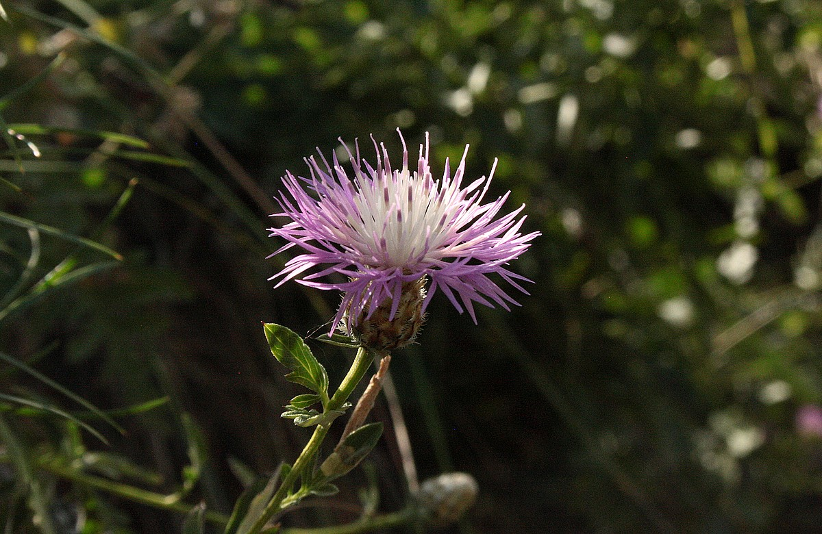 Centaurea abbreviata