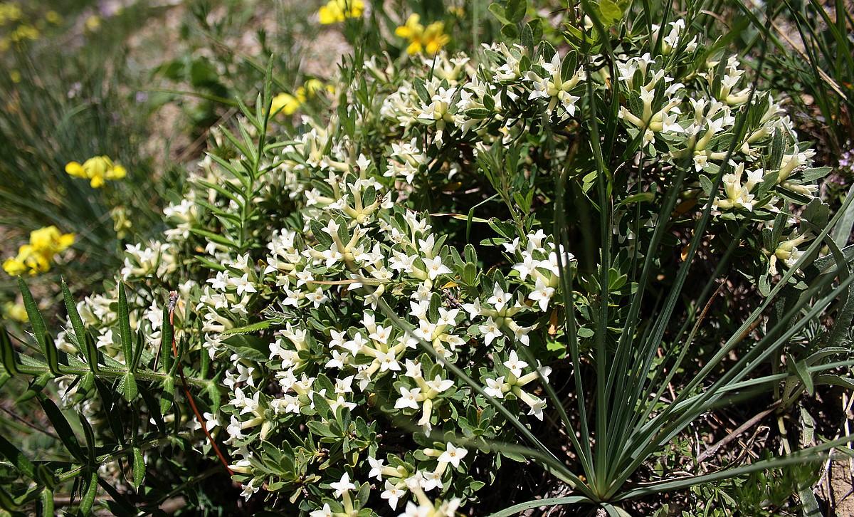 Daphne oleoides subsp. transcaucasica