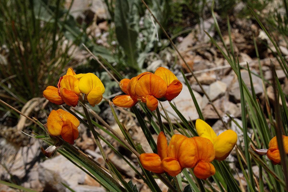 Lotus caucasicus
