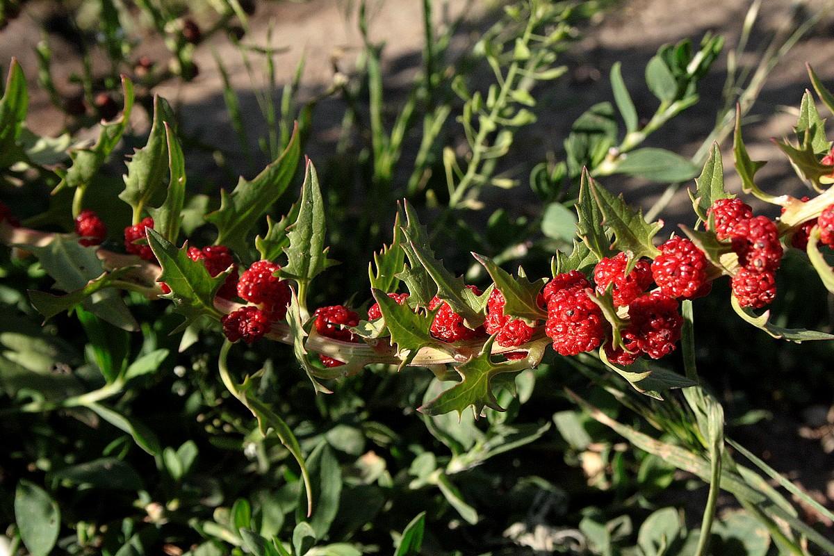 Chenopodium capitatum - Trosaardbeispinazie