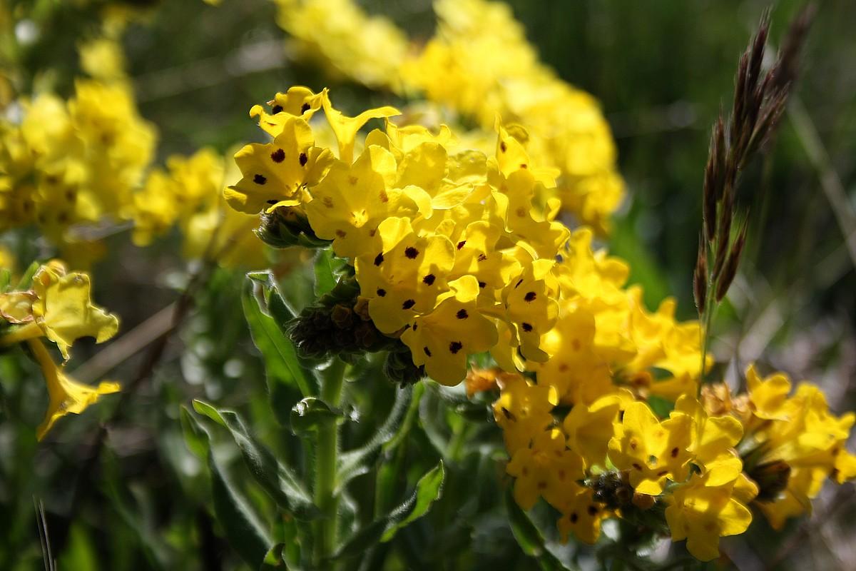 Arnebia pulgra