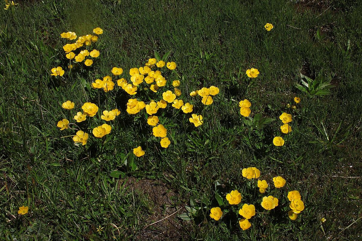 Ranunculus merovensis pseud transcaucasicus
