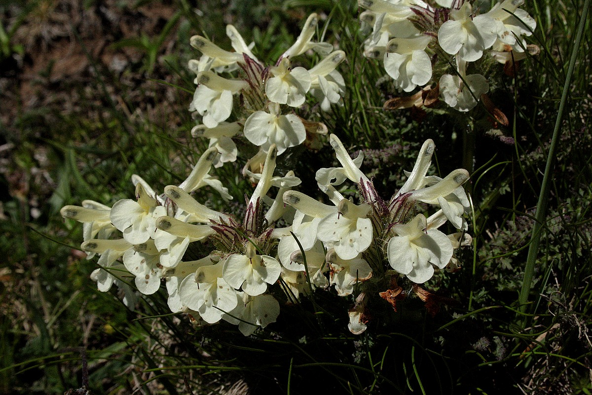 Pedicularis armena