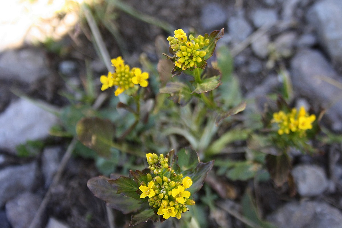 Barbarea vulgaris - Gewoon barbarakruid