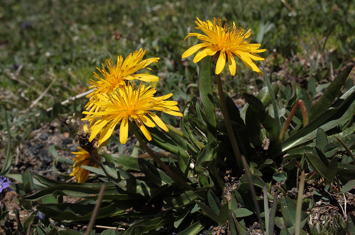 Taraxacum stevenii - Paardenbloem sp.