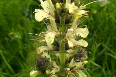 Salvia armeniaca