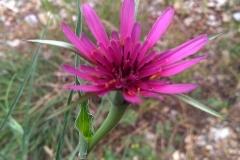 Tragopogon coloratus