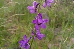 Delphinium quercetorum