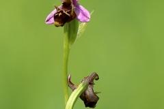 Ophrys oestrifera
