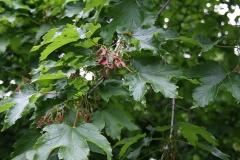 Acer trautvetteri - Turkse esdoorn