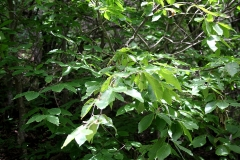 Fagus orientalis - Oosterse beuk