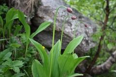 Allium victorialis - Gevlakt look