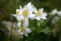 Anemone fasciculata. Pseud. Anemonastrum fasciculatum