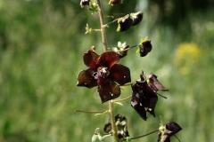 Verbascum phoeniceum - Paarse toorts