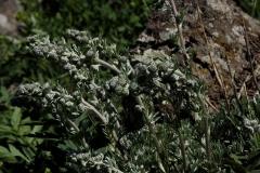 Artemisia caucasica - Alsem sp.