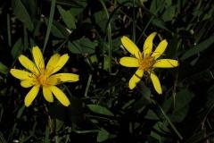 Chondrilla latifolia