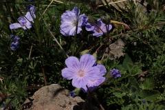 Erodium armenum