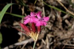 Dianthus calocephalus - Anjer sp.