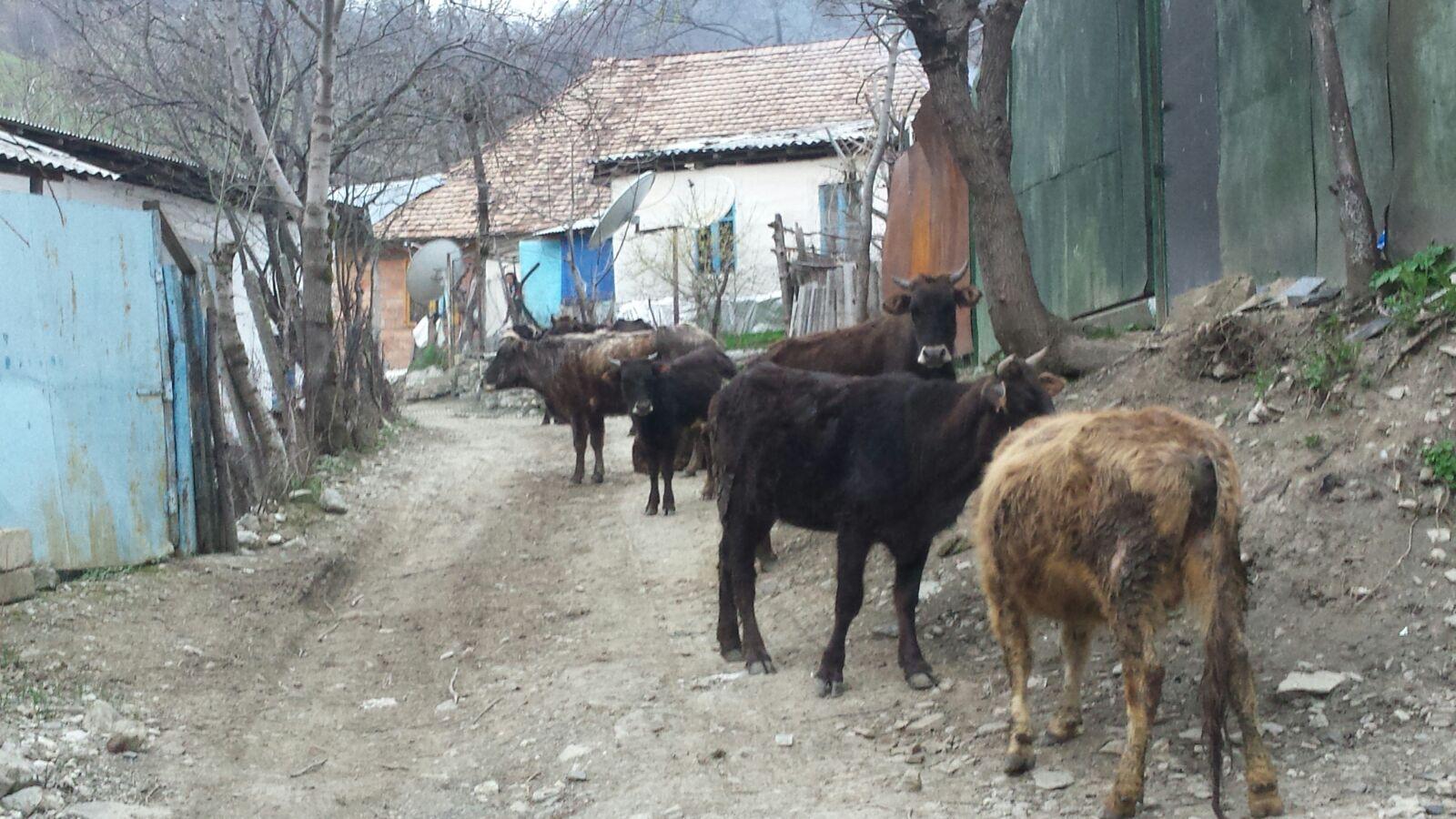 Laza, Hoge Kaukasus